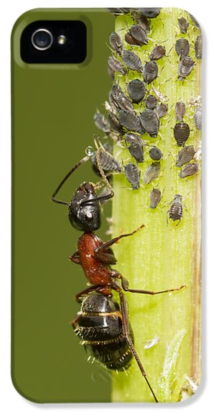Ants iPhone 5 Cases - Ant tending aphids iPhone 5 Case by Mircea Costina Photography