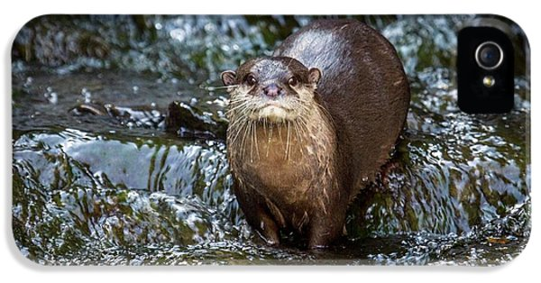 Asian Small-clawed Otter IPhone 5 / 5s Case by Paul Williams