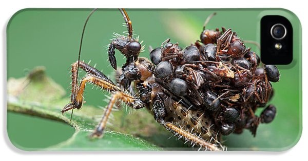 Assassin Bug Nymph With Ants IPhone 5 / 5s Case by Melvyn Yeo