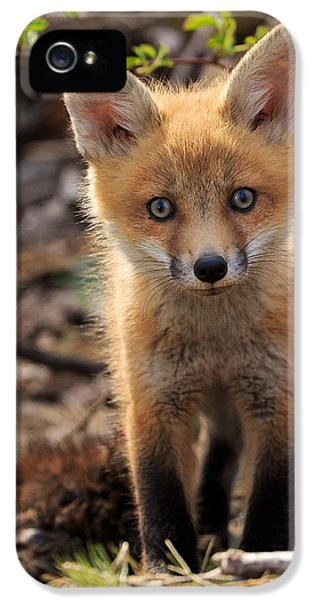 Red Fox iPhone 5 Cases - Baby in the Wild iPhone 5 Case by Everet Regal