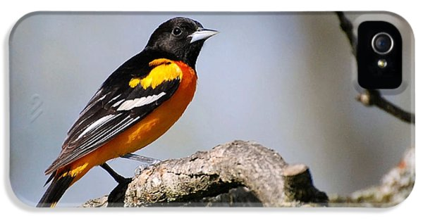 State Bird iPhone 5 Cases - Baltimore Oriole iPhone 5 Case by Christina Rollo