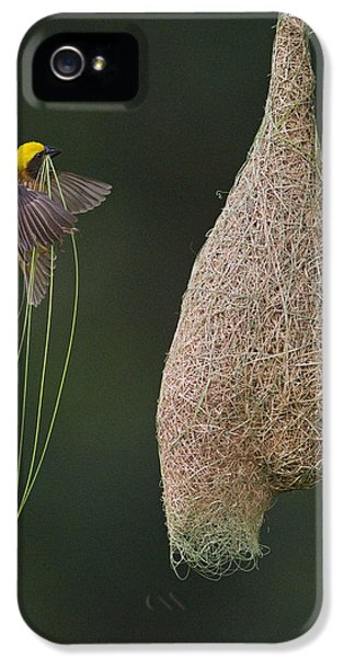 Passeridae iPhone 5 Cases - Baya Weaver Male With Nest Material iPhone 5 Case by Ingo Arndt