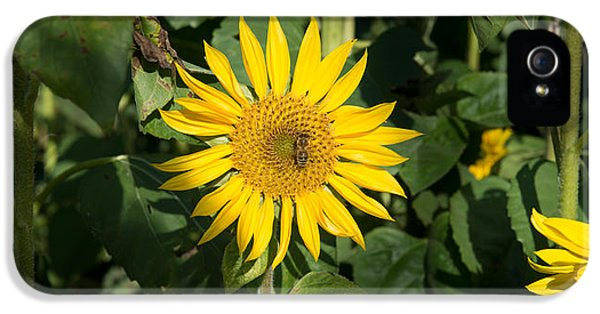 Arthropod iPhone 5 Cases - Bee On Sunflower, Baden-wurttemberg iPhone 5 Case by Panoramic Images