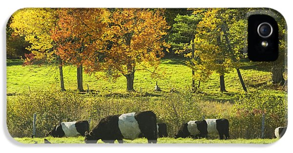 Livestock iPhone 5 Cases - Belted Galloway Cows Grazing On Grass In Rockport Farm Fall Maine Photograph iPhone 5 Case by Keith Webber Jr