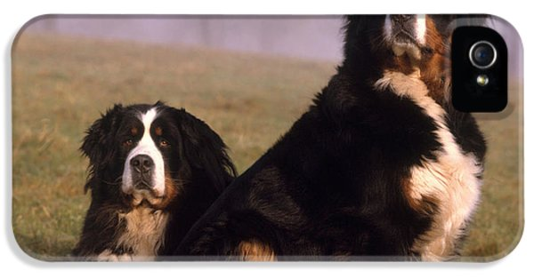 Canid iPhone 5 Cases - Bernese Mountain Dogs iPhone 5 Case by Hans Reinhard
