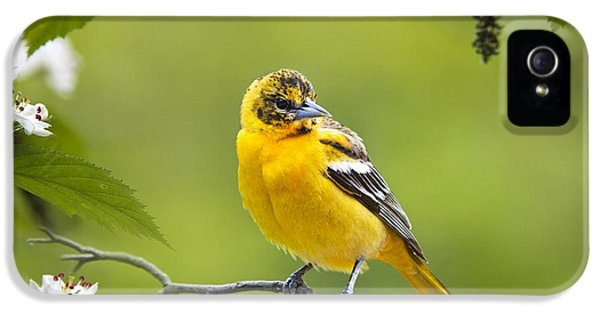 State Bird iPhone 5 Cases - Bird and Blooms - Baltimore Oriole iPhone 5 Case by Christina Rollo