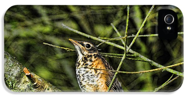 Bird Watcher iPhone 5 Cases - Bird - Baby Robin iPhone 5 Case by Paul Ward