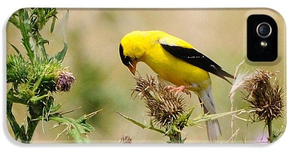 Bird Watcher iPhone 5 Cases - Bird -Gold Finch Feasting  iPhone 5 Case by Paul Ward