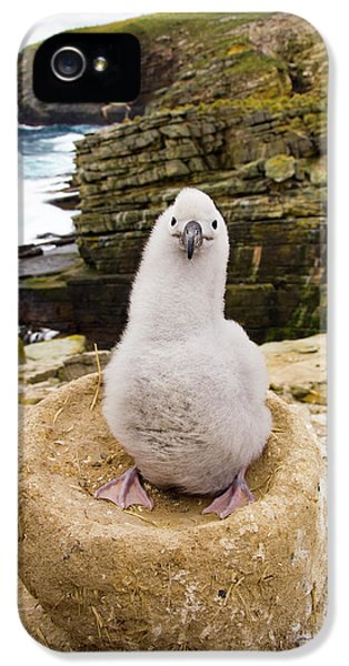 Black-browed Albatross Chick Falklands IPhone 5 / 5s Case by