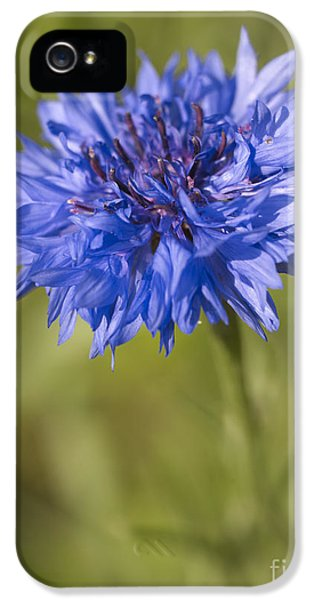 Echinacea iPhone 5 Cases - Blue Cornflower iPhone 5 Case by Tony Cordoza