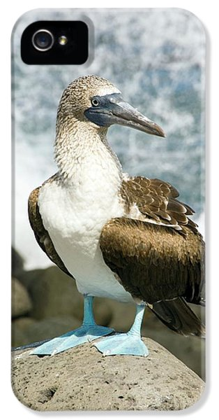 Blue-footed Booby IPhone 5 / 5s Case by Daniel Sambraus