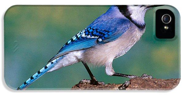Blue Jay IPhone 5 / 5s Case by Millard H. Sharp