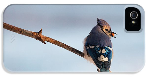 Blue Jay With Nuts IPhone 5 / 5s Case by Everet Regal