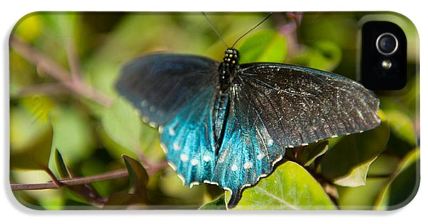 Arthropod iPhone 5 Cases - Blue Tinted Butterfly On A Leaf iPhone 5 Case by Panoramic Images