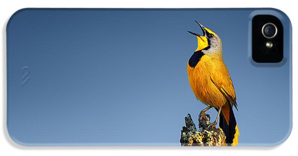 Beak iPhone 5 Cases - Bokmakierie bird calling iPhone 5 Case by Johan Swanepoel