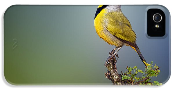 Beak iPhone 5 Cases - Bokmakierie bird - Telophorus zeylonus iPhone 5 Case by Johan Swanepoel