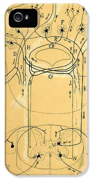 Brain Vestibular Sensor Connections By Cajal 1899 IPhone 5 / 5s Case by Science Source