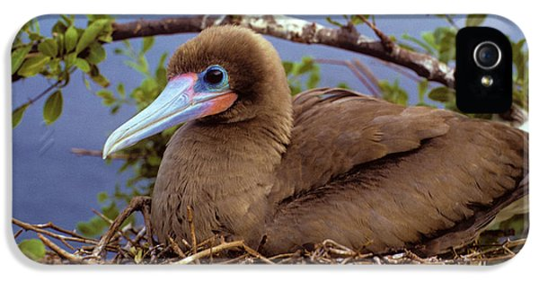 Brown Color Morph Of Red-footed Booby IPhone 5 / 5s Case by Thomas Wiewandt