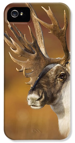 Caribou iPhone 5 Cases - Bull Caribou On Autumn Tundra In Denali iPhone 5 Case by Milo Burcham