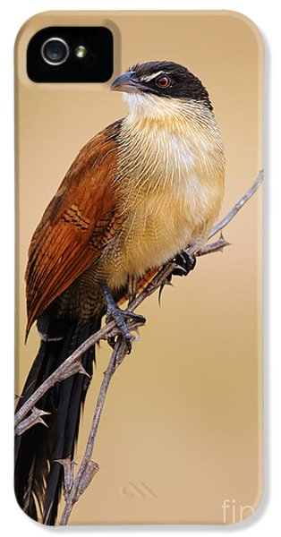 Beak iPhone 5 Cases - Burchells coucal iPhone 5 Case by Johan Swanepoel