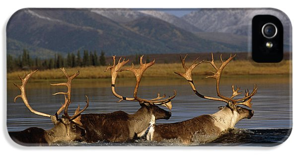 Caribou iPhone 5 Cases - Caribou Herd Swimming Across Kobuk iPhone 5 Case by Nick Jans