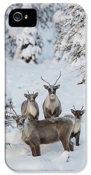 Caribou iPhone 5 Cases - Caribou in a Winter Wonder Land iPhone 5 Case by Tim Grams