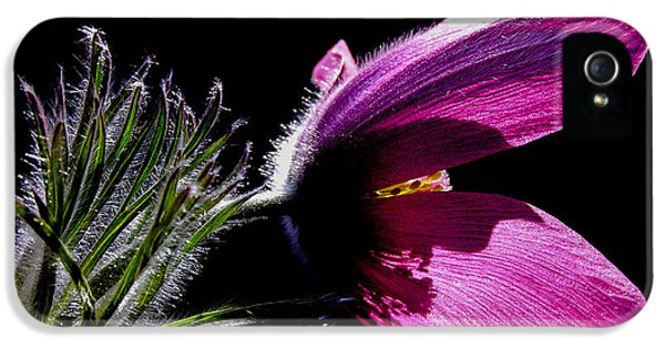 Common Pasque Flower iPhone 5 Cases - Closeup - Purple pasque Flower with dark background iPhone 5 Case by Kerstin Ivarsson