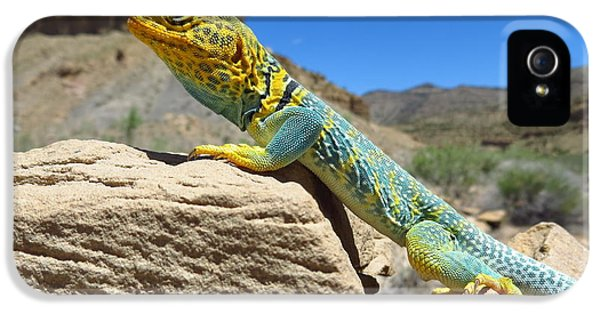 Casey iPhone 5 Cases - Collared Lizard iPhone 5 Case by Casey Hodnett