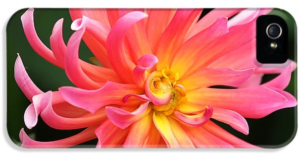 Square iPhone 5 Cases - Colorful Dahlia iPhone 5 Case by Rona Black