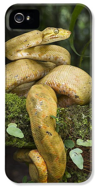 Common Tree Boa -yellow Morph IPhone 5 / 5s Case by Pete Oxford