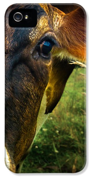 Closeup iPhone 5 Cases - Cow eating grass iPhone 5 Case by Bob Orsillo
