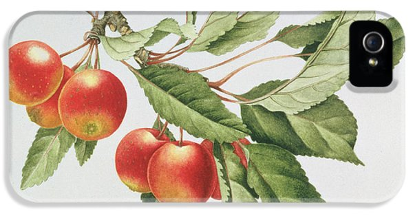 Apple iPhone 5 Cases - Crab Apples iPhone 5 Case by Sally Crosthwaite
