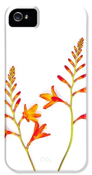 High Key iPhone 5 Cases - Crocosmia on White iPhone 5 Case by Carol Leigh