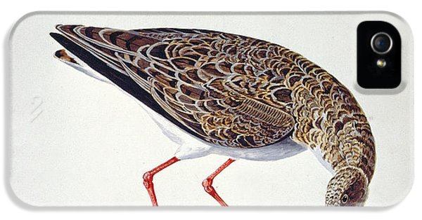 Feeding iPhone 5 Cases - Curlew Sandpiper iPhone 5 Case by Charles Collins