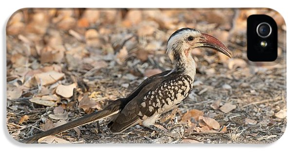 Damara Red-billed Hornbill Foraging IPhone 5 / 5s Case by Tony Camacho