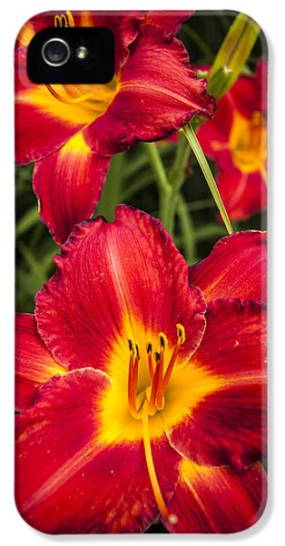 Pistil iPhone 5 Cases - Day Lilies iPhone 5 Case by Adam Romanowicz