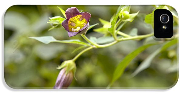 Alkaloid iPhone 5 Cases - Deadly Nightshade Atropa Belladonna iPhone 5 Case by Colin Cuthbert / Dilston Physic Garden