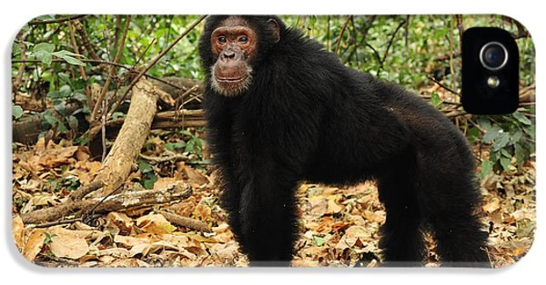 Eastern Chimpanzee Gombe Stream Np IPhone 5 / 5s Case by Thomas Marent