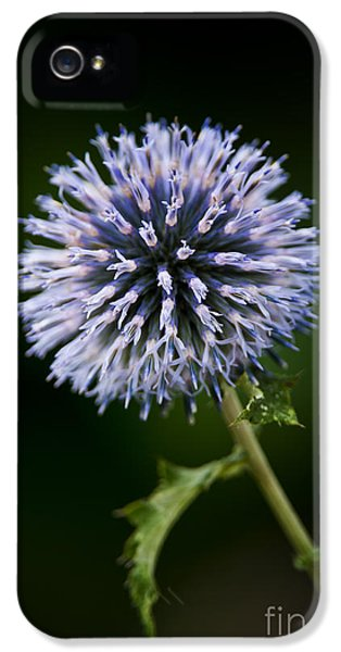 Echinops iPhone 5 Cases - Echinops Pictures 4 iPhone 5 Case by World Wildlife Photography