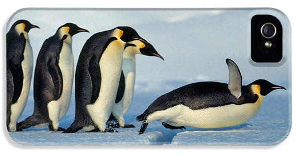 Emperor Penguin Aptenodytes Forsteri IPhone 5 / 5s Case by Hans Reinhard