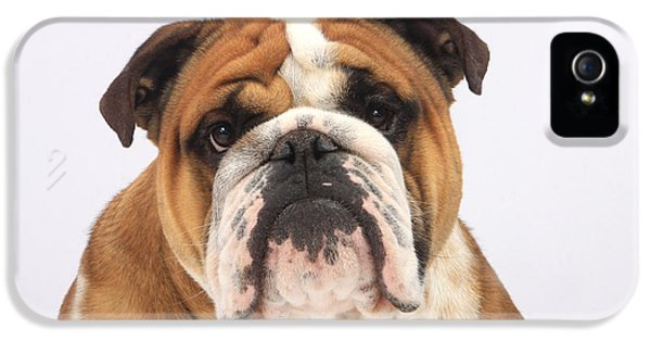 Canid iPhone 5 Cases - English Bulldog iPhone 5 Case by Christine Steimer