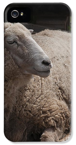 Ewe iPhone 5 Cases - Ewe iPhone 5 Case by Terry Rowe