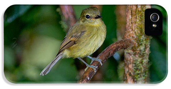 Flavescent Flycatcher IPhone 5 / 5s Case by Anthony Mercieca