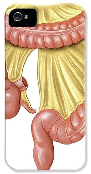 Foetal Large Intestine IPhone 5 / 5s Case by Asklepios Medical Atlas