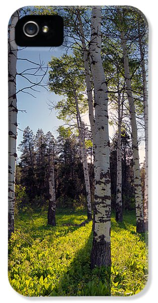 Caribou iPhone 5 Cases - Forest Light Aspens iPhone 5 Case by Leland D Howard