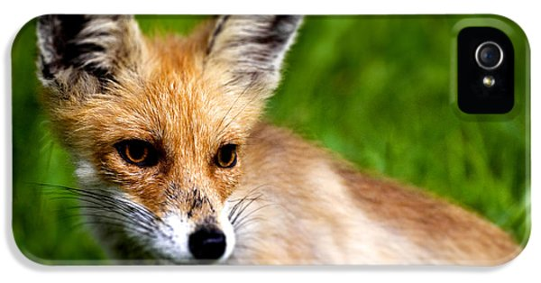 Young Foxes iPhone 5 Cases - Fox pup iPhone 5 Case by Fabrizio Troiani