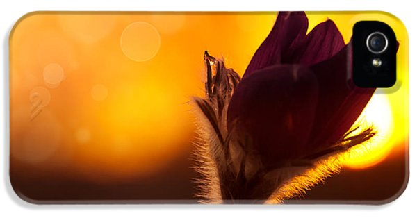Pulsatilla Vulgaris iPhone 5 Cases - Get Sunset iPhone 5 Case by Steffen Gierok