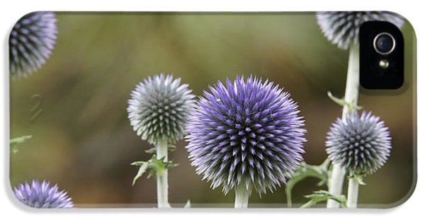 Echinops iPhone 5 Cases - Giant Globe Thistle iPhone 5 Case by Ernie Echols