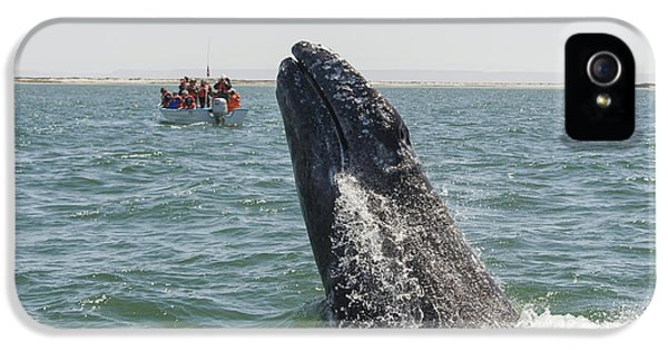 Ignacio iPhone 5 Cases - Gray Whale Calf Breaching San Ignacio iPhone 5 Case by Suzi Eszterhas
