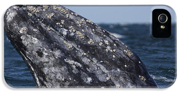 Ignacio iPhone 5 Cases - Gray Whale Spyhopping San Ignacio Lagoon iPhone 5 Case by Hiroya Minakuchi